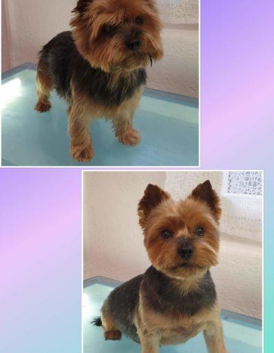 Hundesalon New Jersey - Vorher Nachher (13)