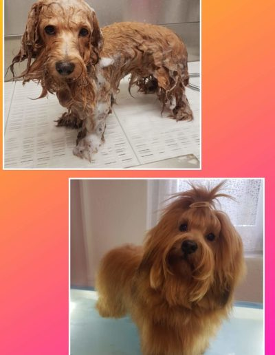 Hundesalon New Jersey - Vorher Nachher (15)