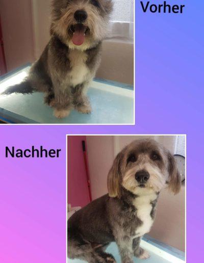 Hundesalon New Jersey - Vorher Nachher (17)
