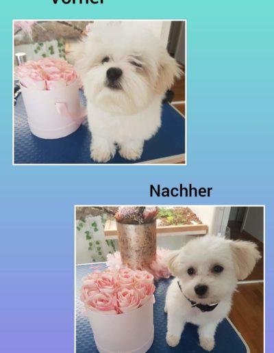 Hundesalon New Jersey - Vorher Nachher (2)
