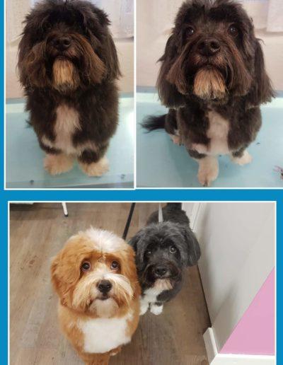 Hundesalon New Jersey - Vorher Nachher (5)