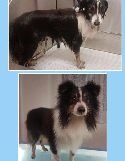 Hundesalon New Jersey - Vorher Nachher (6)