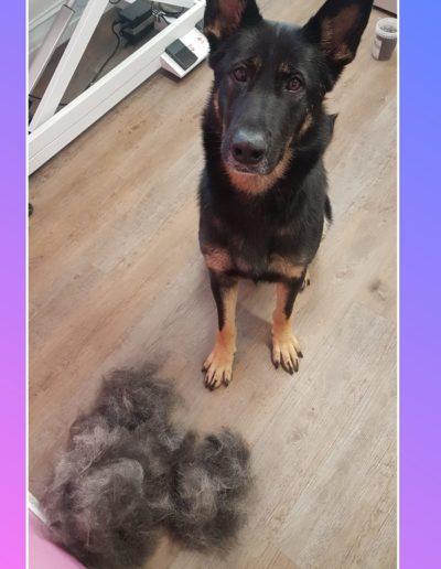 Hundesalon New Jersey - Vorher Nachher (999)